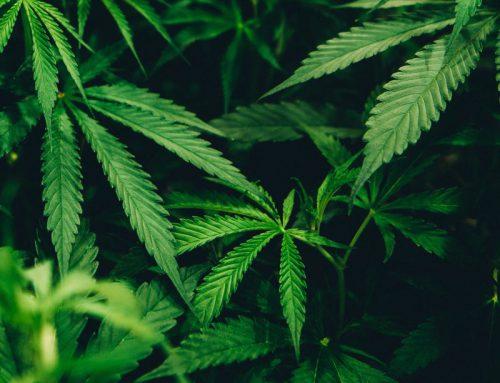 Mi mascota se ha comido una planta de Cannabis ¿Qué debo hacer?