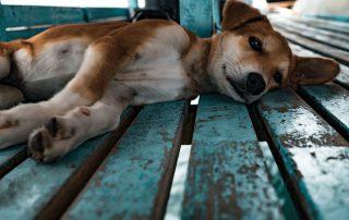 CBD para perros con epilepsia | Canna-Vets.com