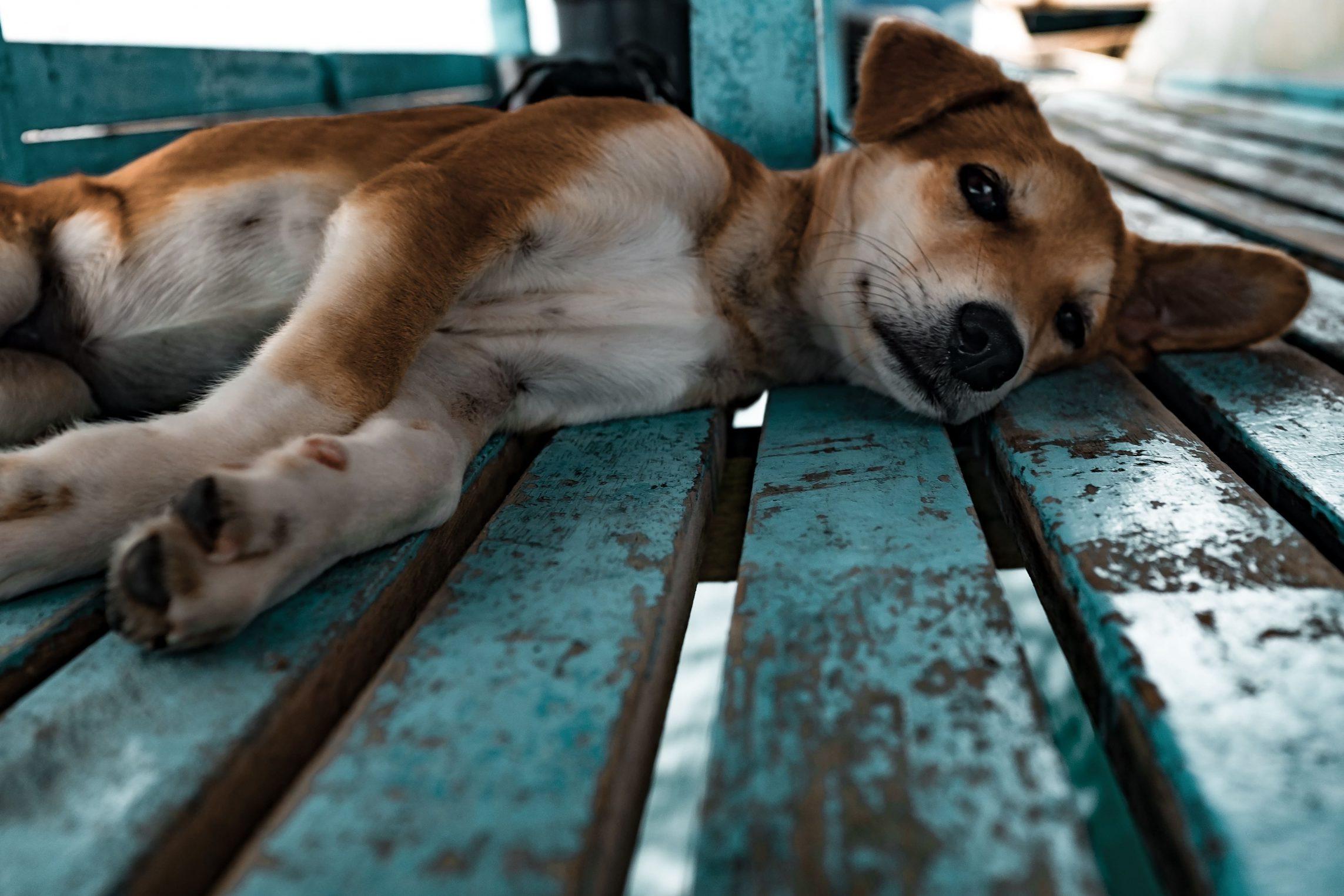 CBD para perros con epilepsia   Canna-Vets.com